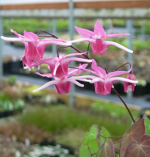 Picture of Epimedium 'Flamingo Dancer'