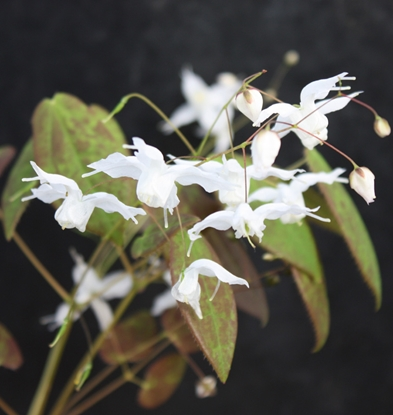 Picture of Epimedium ogisui