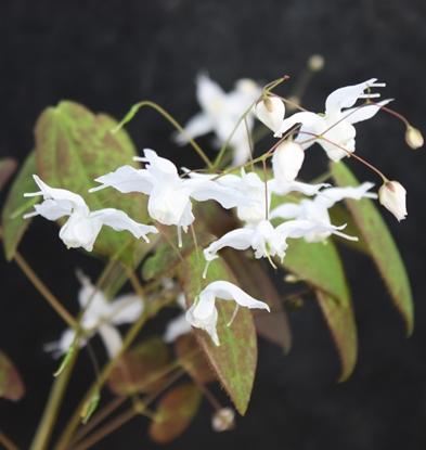 Picture of Epimedium ogisui