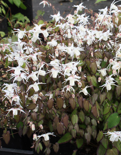 Picture of Epimedium 'After Midnight'