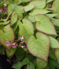 Picture of Epimedium x rubrum 'Sweetheart'