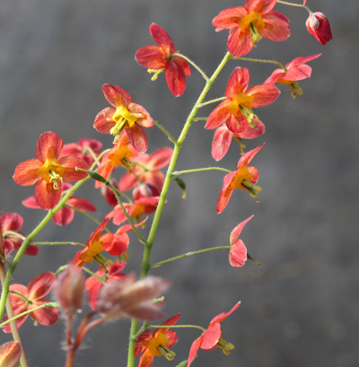 Picture of Epimedium x warleyense