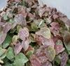 Picture of Epimedium x versicolor 'Cherry Tart'