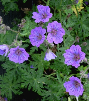Picture of Geranium tuberosum dark form