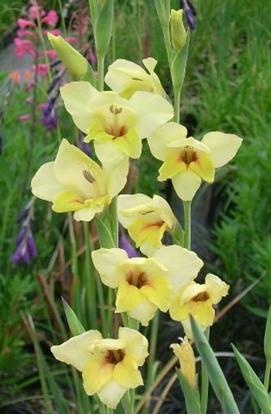 Picture of Gladiolus 'Carolina Primrose'