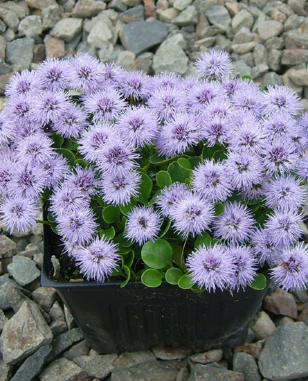 Picture of Globularia incanescens
