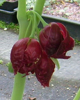 Picture of Podophyllum pleianthum x veitchii