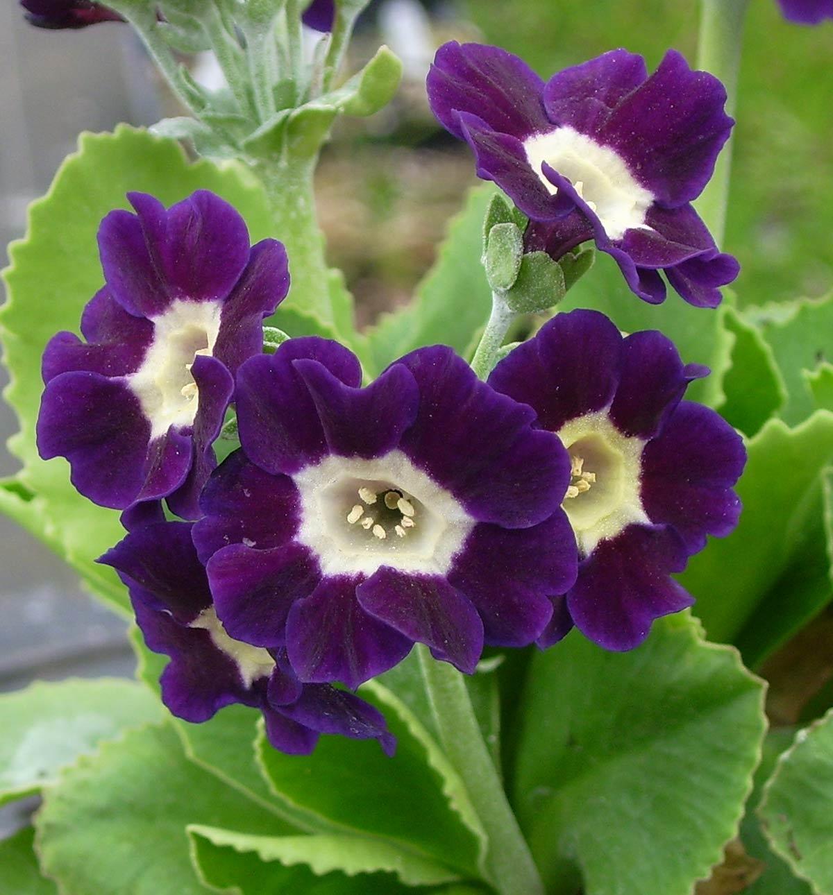 Picture of Primula auricula 'Blue Velvet'