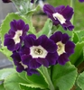 Picture of Primula auricula 'Blue Velvet'