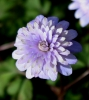 Picture of Anemone apennina 'Plena'