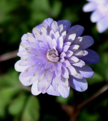 Picture of Anemone apennina 'Plena'