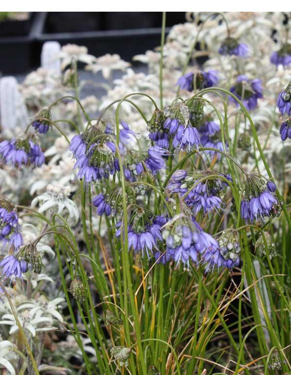 Picture of Allium cyaneum 'Sky Blue'