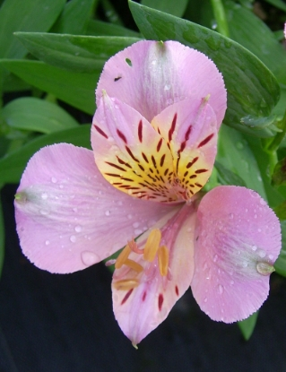 Picture of Alstroemeria 'Dusty Rose'