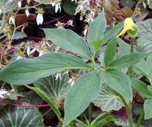 Picture of Arisaema flavum (corms)