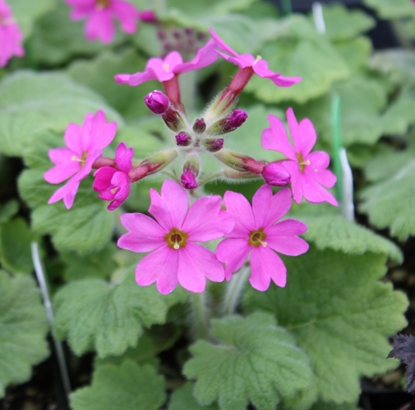 Picture of Primula kisoana