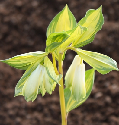 Picture of Disporum sessile 'Awa-no-tsuki'