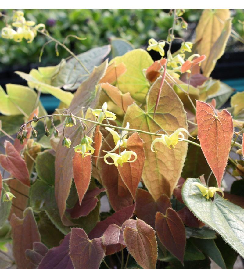 Picture of Epimedium lishihchenii