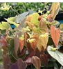 Picture of Epimedium lishihchenii