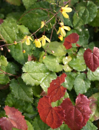 Picture of Epimedium ecalcarata
