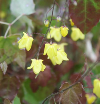Picture of Epimedium 'Lemon Zest'