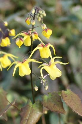 Picture of Epimedium davidii