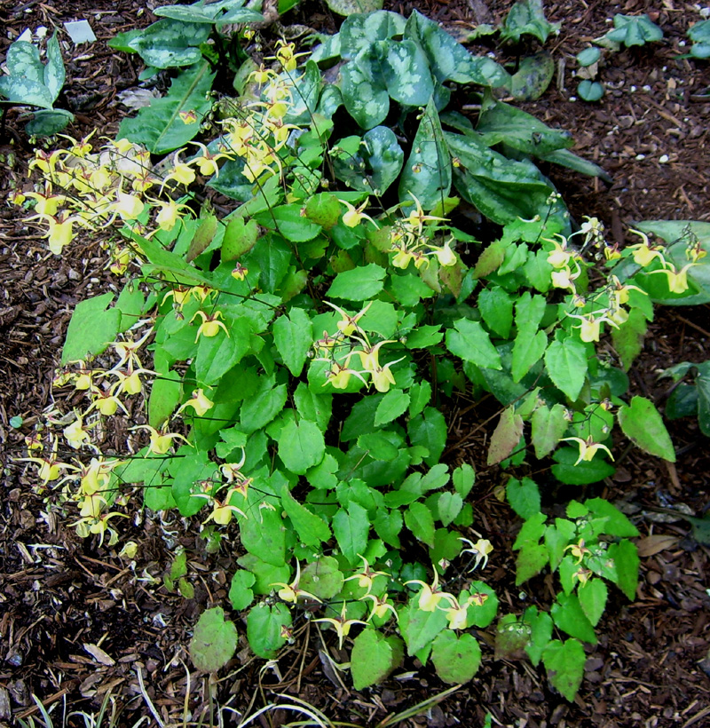 Picture of Epimedium davidii