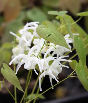 Picture of Epimedium sempervirens 'Okuda's White'