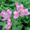 Picture of Alstroemeria Mid Pink