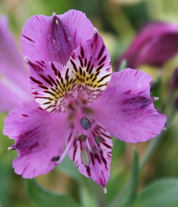 Picture of Alstroemeria purple tall