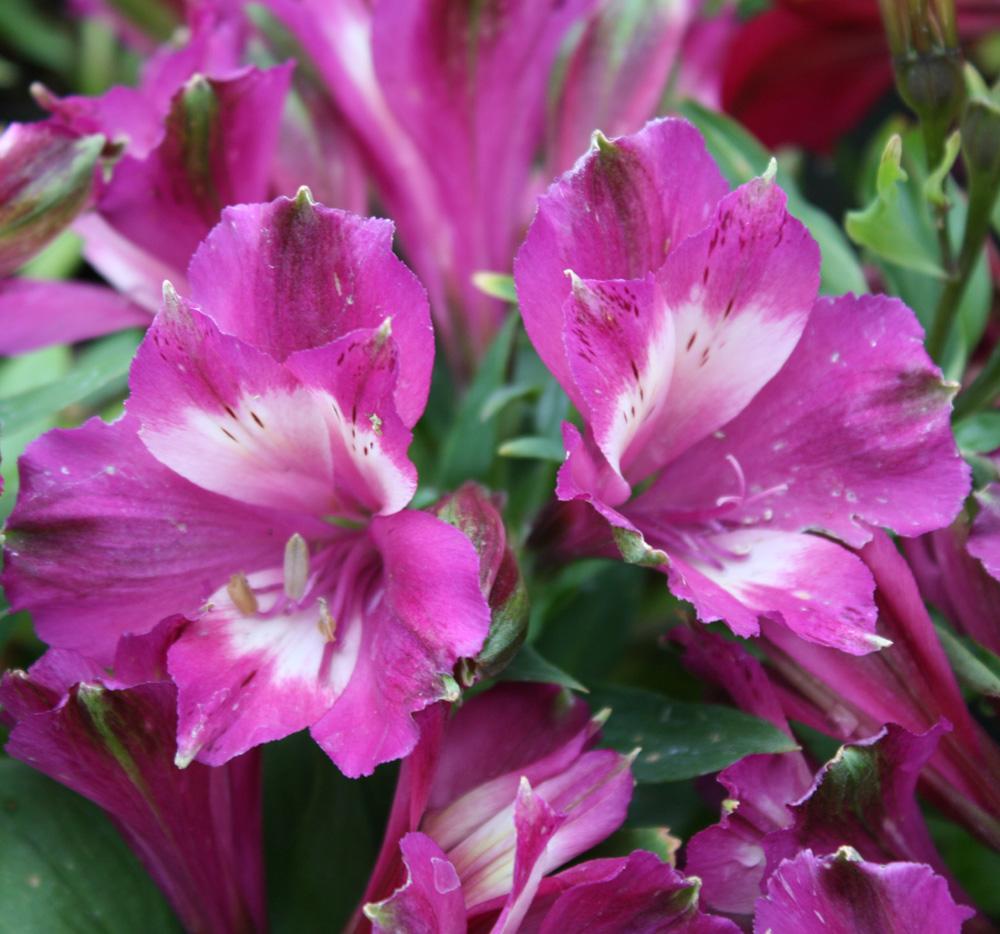 Edelweiss Perennials Alstroemeria Princess Anouska