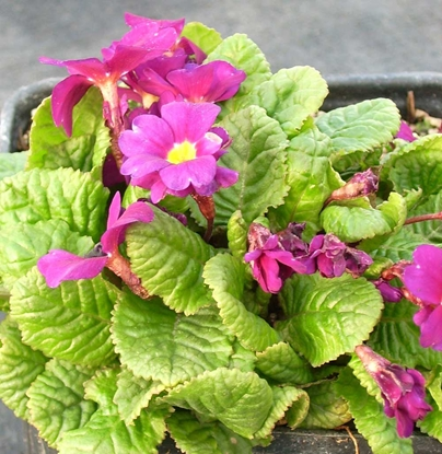 Picture of Primula wanda 'Hose-in-Hose'