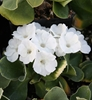Picture of Primula auricula 'Snow White'