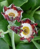 Picture of Primula auricula [Hinton Fields]