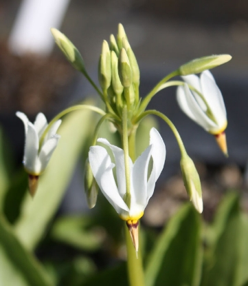 Picture of Dodecatheon meadia 'Alba'