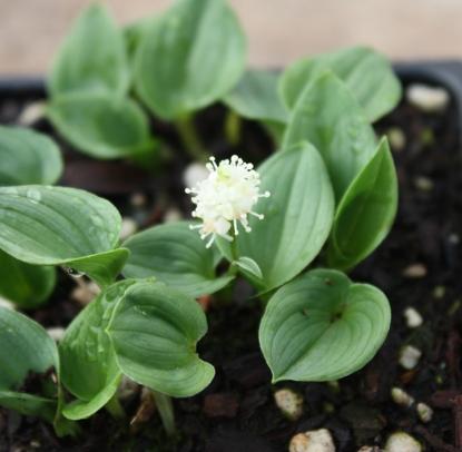 Picture of Maianthemum bifolium var. kamtschaticum 'Minima'
