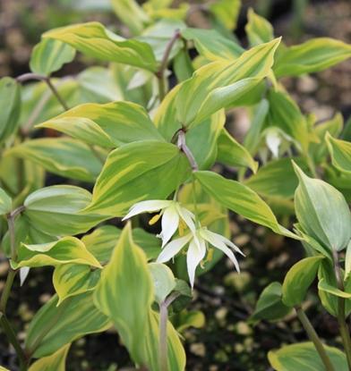 Picture of Disporum smilacinum 'Ki-no-tsukasa'
