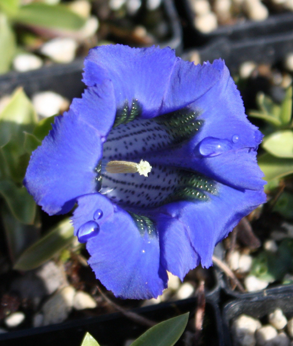 Picture of Gentiana acaulis Hybrid 'Holzmann' lg. pots