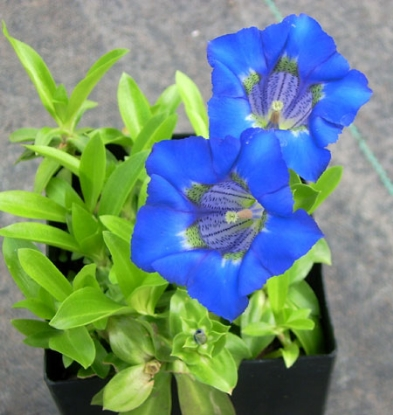 Picture of Gentiana angustifolia-Hybrid (Leach) lg. pots
