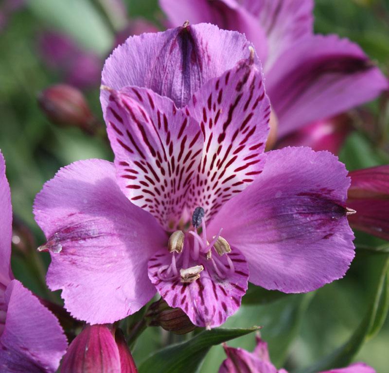 Picture of Alstroemeria 'Azula'