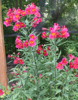 Picture of Alstroemeria 'Margaret'