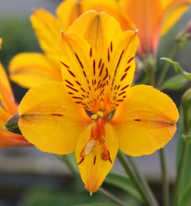 Picture of Alstroemeria 'Sussex Gold'