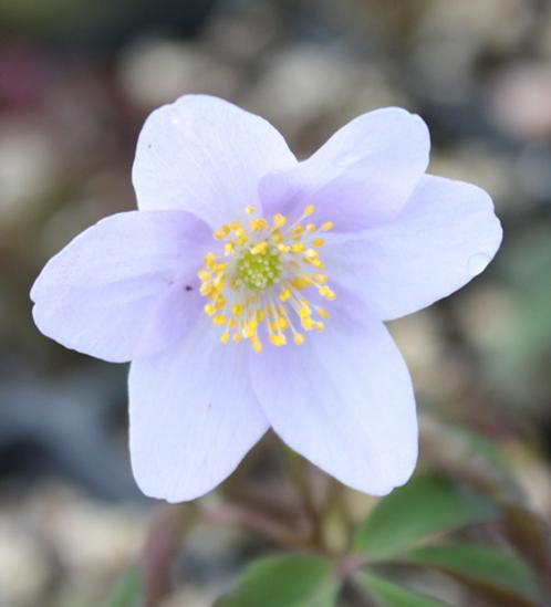 Picture of Anemone nemorosa 'Allenii'
