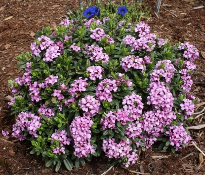 Picture of Daphne x susannae 'Tage Lundell'
