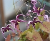 Picture of Epimedium acuminatum 'Night Mistress'