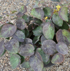 Picture of Epimedium pinnatum ssp. colchicum 'Thunderbolt'