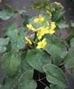 Picture of Epimedium x perralchicum 'Frohnleiten'