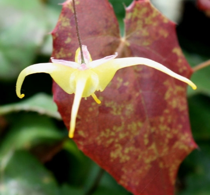 Picture of Epimedium rhizomatosum