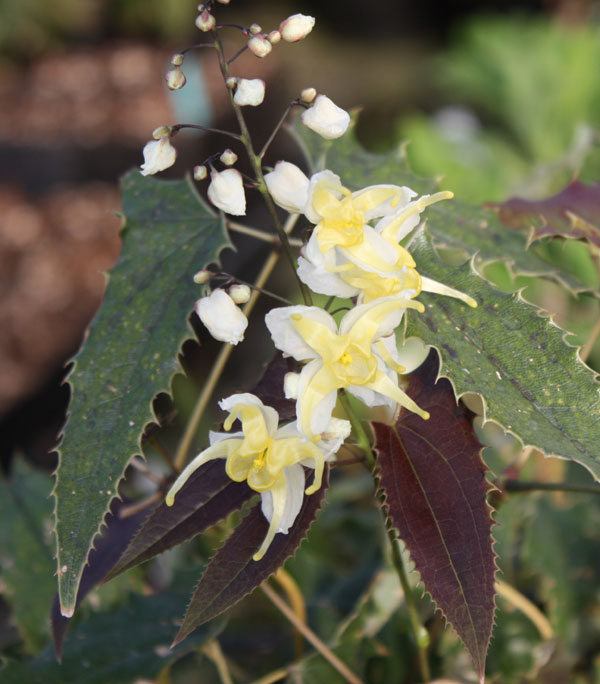 "Picture of Epimedium wushanense ""Spiny-leafed Form"""