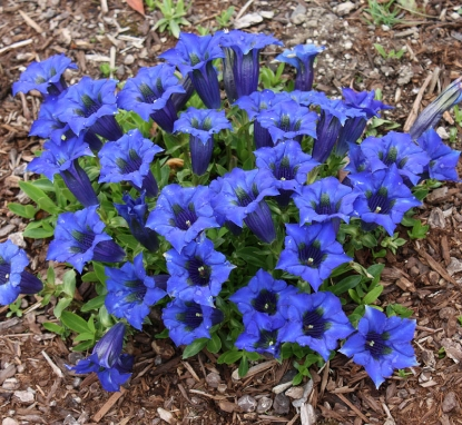 Picture of Gentiana acaulis Hybrid 'Renate'