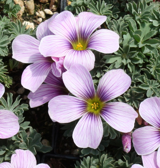 Picture of Oxalis 'Ione Hecker'